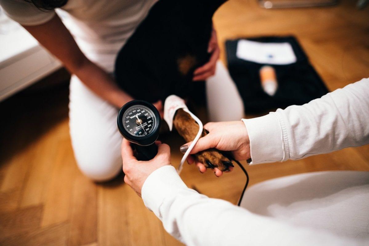 Blutdruckmessung bei einem Hund.