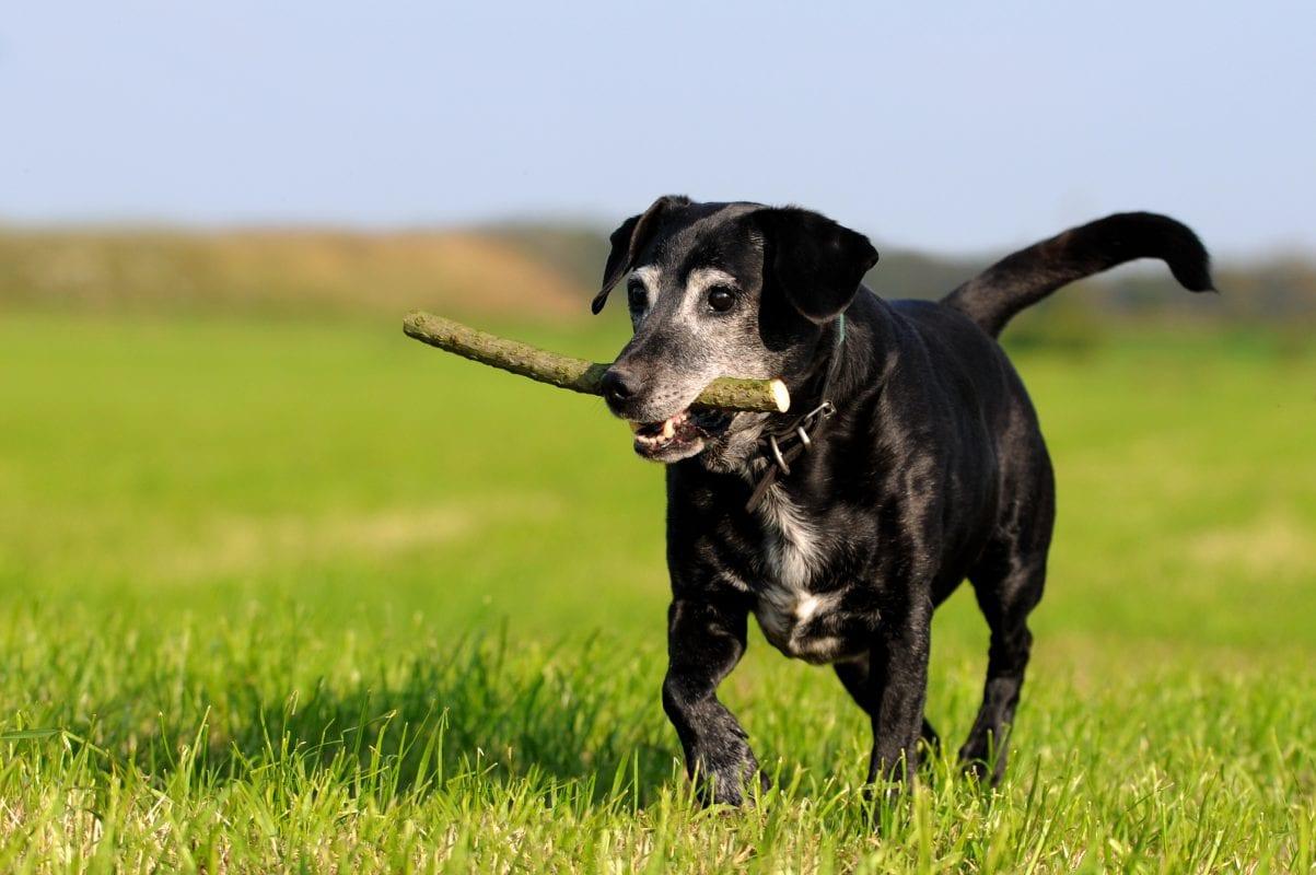Alter Hund geht spazieren